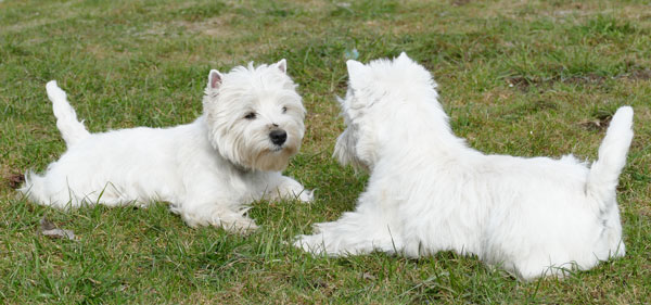 Zuchtstaetter Albiero Royal West Highland White Terrier